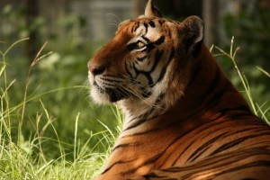 Zulu, the tiger who inspired us to start the sanctuary