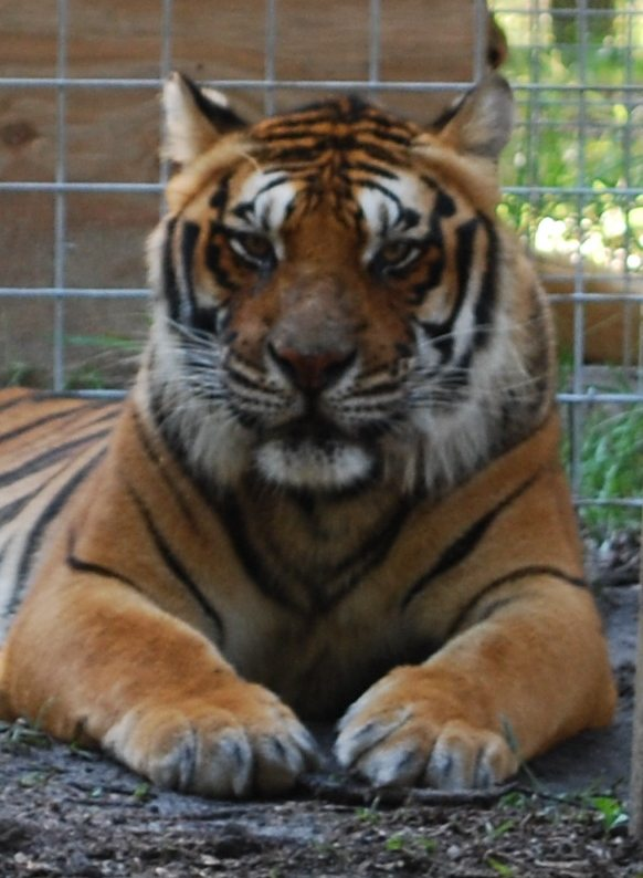 Tigers And African Servals Forest Animal Rescue