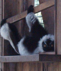 Easter the lemur upside down