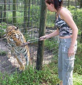 Intern feeding tiger