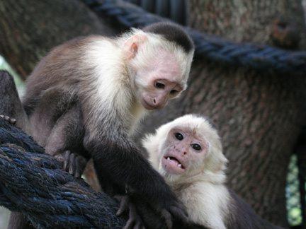 Capuchin family