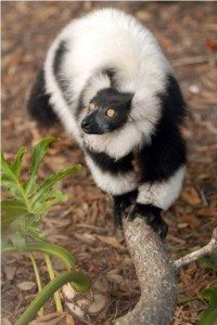 Photo of Easter the lemur