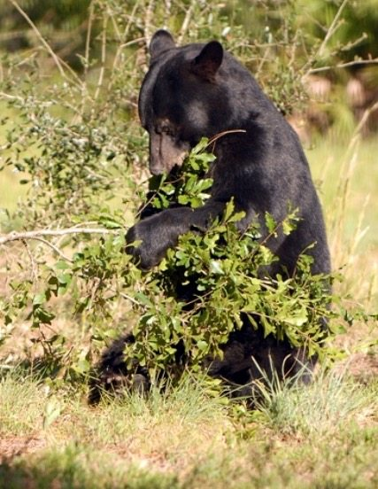 B-Bear, American black bear