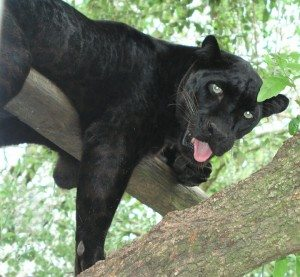 Damien, Black Leopard