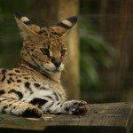 Kenya, African Serval