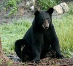 Elizabeth Rose, American black bear