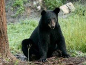 Elizabeth Rose, American black bear