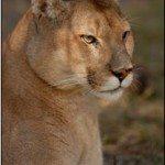Cougar Mahari
