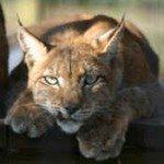 Siberian Lynx Misha