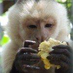 Capuchin with corn