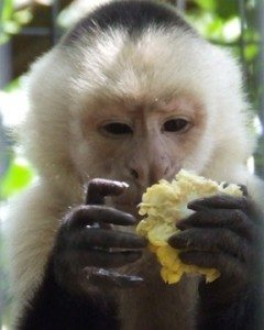 Capuchin with corn