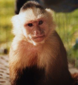 Wendy capuchin monkey