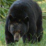 Dolly, American black bear