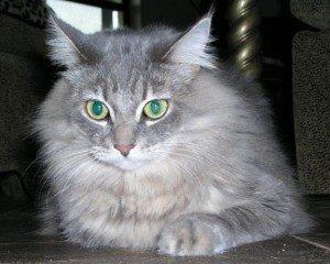 Domestic Cat Puff