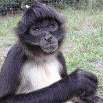 Scar, Spider monkey