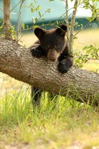 Black Bear, Elizabeth Rose