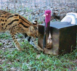 Serval present