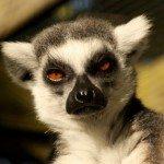 Lucy, Ringtail lemur