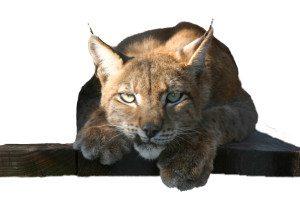 Lynx Misha