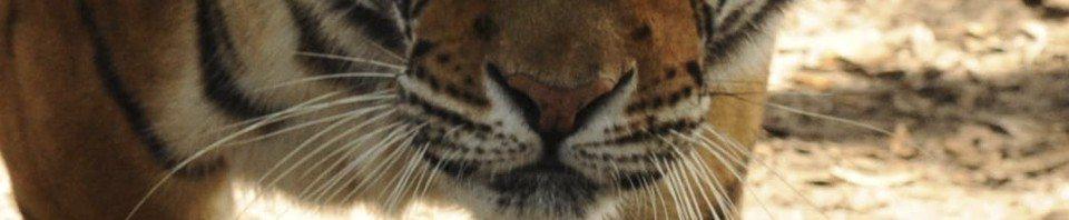 Roy, tiger