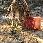 Kito, African Serval