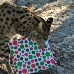 Saka, African Serval