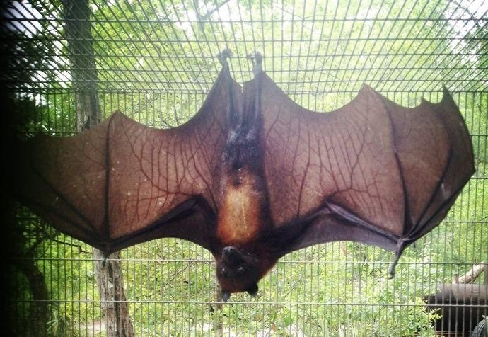 Island flying fox
