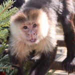 Chico, White faced capuchin