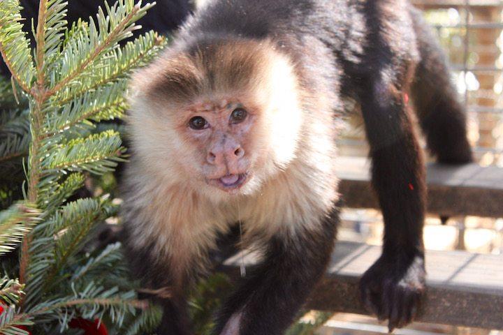 Chico, White faced capuchin