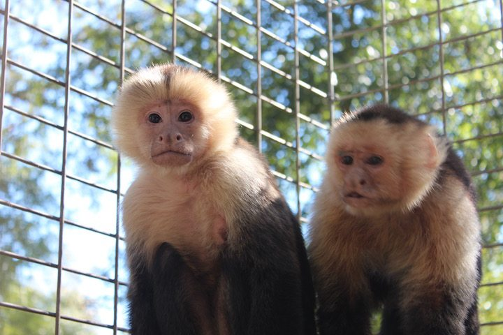 Harley & Larry, White faced capuchins