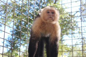 Larry, White faced capuchin