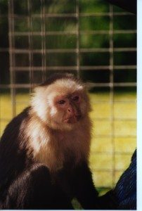 Barry, White faced capuchin