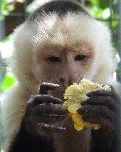 Hadji, White faced capuchin