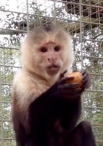 Harley, White faced capuchin