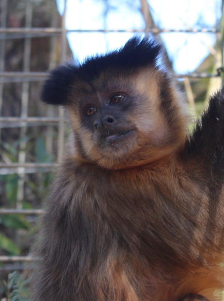 JoJo, Brown capuchin