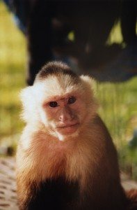 Wendy, White faced capuchin