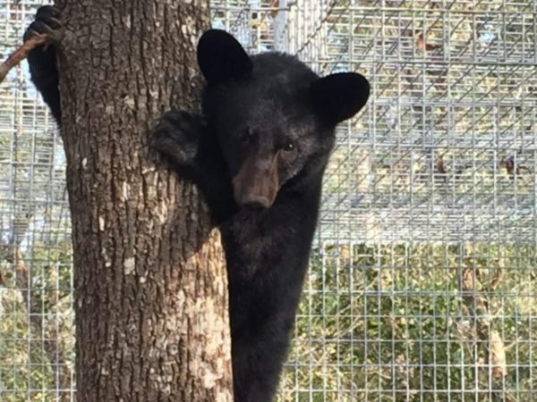 Emily, Florida black bear