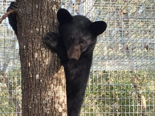 Emily, Florida black bear