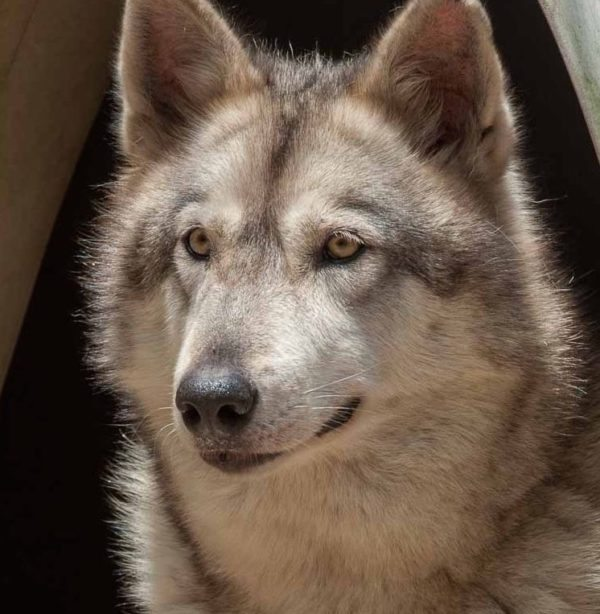 Timber, Wolf possibly hybrid)