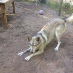 Timber, wolf (hybrid)