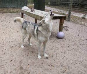 Timber, wolf (possibly hybrid)