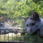 Hobbes & Calvin, Domestic cats