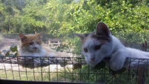 Hobbes & Calvin, Domestic cats