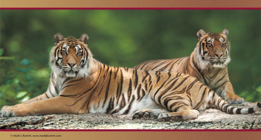 Tigers Roy & Tony