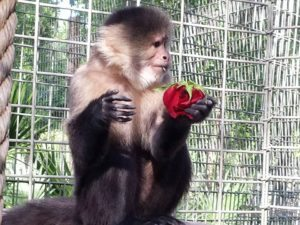 Sally, White faced capuchin