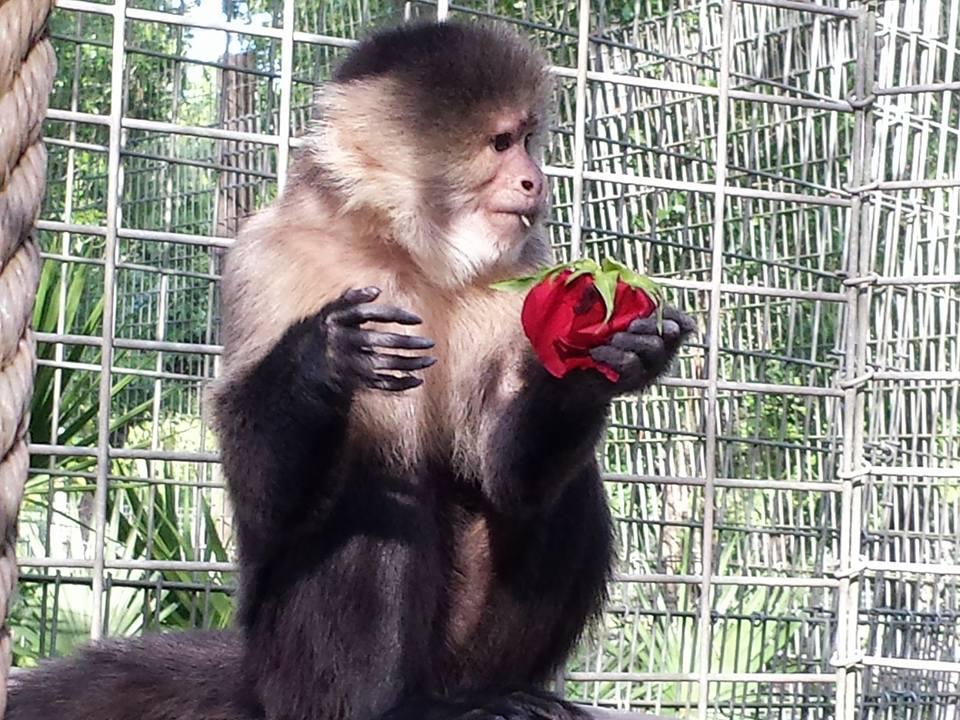 Sally, White faced capuchin