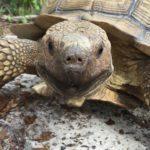 Tori, Sulcata tortoise