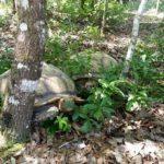 Lincoln & Tori, Sulcata tortoises
