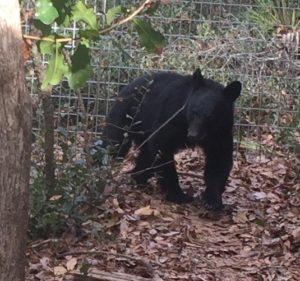 Faye, Florida black bear