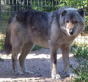Eclipse, Wolf hybrid